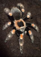 mexican red knee tarantula by ENRAGEDBAKU