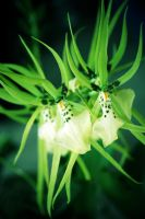 green orchids by JONY-CAKEP