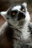 Ring Tailed Lemur by Locopelli