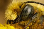 Male Mason Bee Portrait I by dalantech