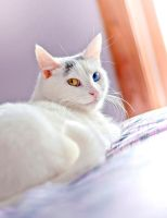Winnie the Heterochromic Kitty XI by MarthaTuma