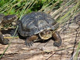 Turtles by stephuhnoids