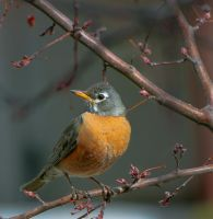 Robin by rainylake
