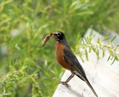 American Robin by sgt-slaughter