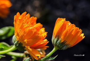 Orange delight by gigi50