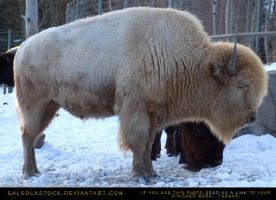 White Bison Eyes Closed by SalsolaStock