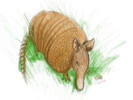 Armadillo by fotter4