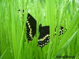 Black Swallowtail Butterfly II by FriendlyButterfly