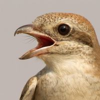 Up close and personal - Isabeline shrike by Jamie-MacArthur