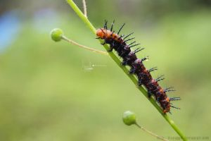 caterpillar by dianapple