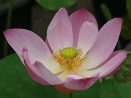 Nymphaea lotus by Otoff
