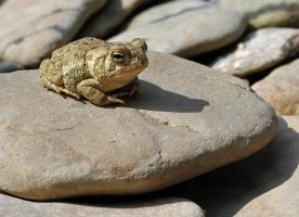 Tiny Toad on a flat rock by masscreation