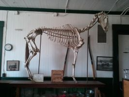 Horse Skeleton Stock by CastleGraphics