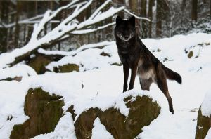 Black Timberwolf 1 by Khalliys
