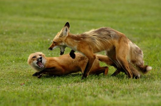 Play Fighting by Tachy-on