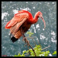 Red Ibis by Marcello-Paoli