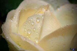 Drops on a Mini Rose by AMLensCreations