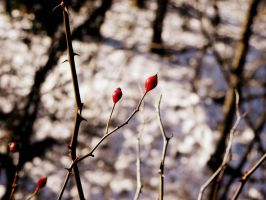 Winter Berry by tracichristine