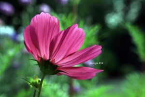 cosmos flower by George---Kirk