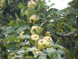 apples on my tree by BlueIvyViolet