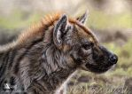 Spotted hyena by Azany