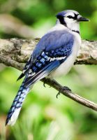 Blue Jay - 1 by creative1978