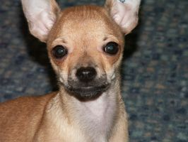 My chihuahua by ssparrow