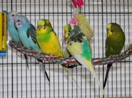 My Budgie Flock by Murphy1210