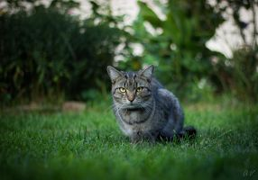 Serious cat by Lareen