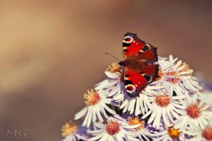 Peacock butterfly by martita80
