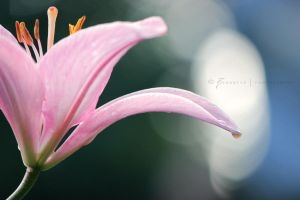 Lily by Zinantis