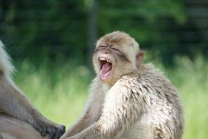 G-ZOO BARBARY MACAQUE by CHRISwillar