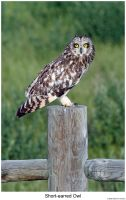 Short-earred Owl by hunter1828