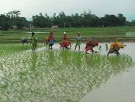 Rice Planting by Kali-Yugadi