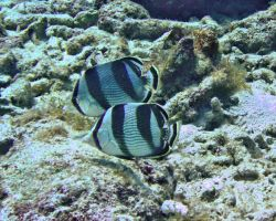 Fish - Banded Butterfly Fish by Lauren-Lee