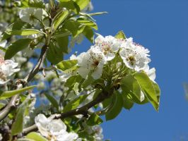 Apple Tree Blossoms 13 by FantasyStock