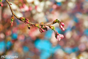 Cherry Blossom 2014 by Ootani-Photography