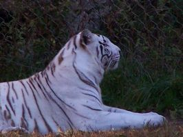 Last white tiger by hermione72141