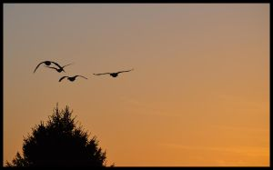 Geese at Sunrise by FrankAndCarySTOCK