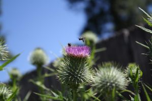 thistle traffic by KarmicCircle