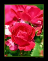 Ally's Rose by David-A-Wagner