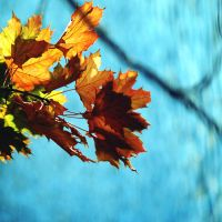 Yellow Maple Leaves by incolor16