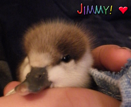 Jimmy the Duckling by Thunderfang117