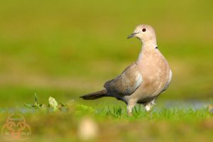 cute collared dove by ahmedalali