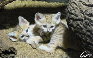 Sand cat kittens by woxys