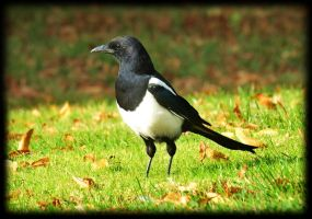 Little arrogant magpie by pagan-live-style