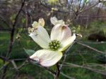 Dogwood by Ariel-Bubbles