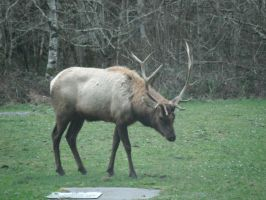 Another Elk by wolfforce58
