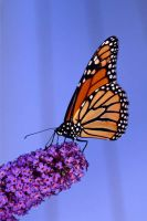 Monarch by Candyshop