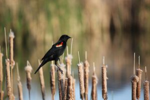 Red Wing Blackbird by rnicolson